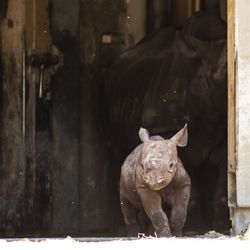 With his mother, Kapuki, standing in the corridor behind him, an unnamed critically endangered eastern black rhinoceros calf, born on May 19, peeks out to his outdoor habitat for the first time at Lincoln Park Zoo, Tuesday morning, June 18, 2019.