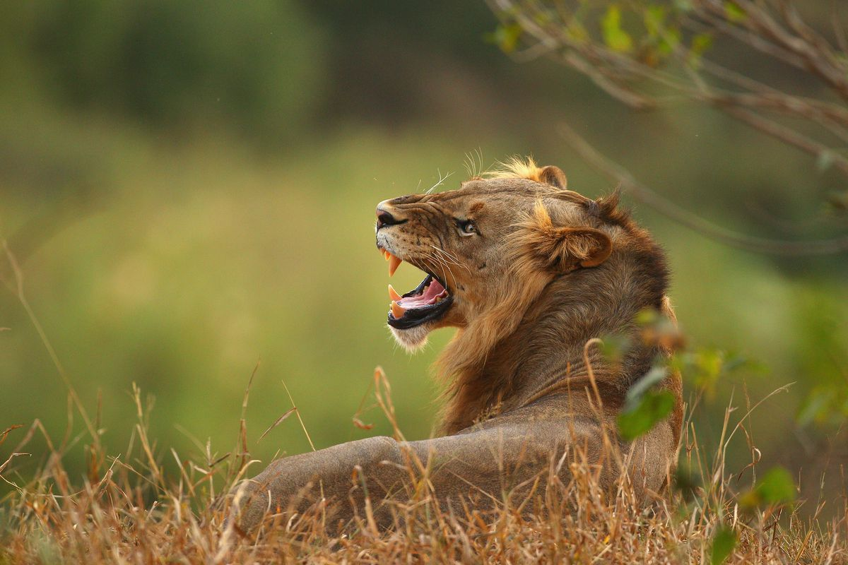 A lion at a game preserve in South Africa.