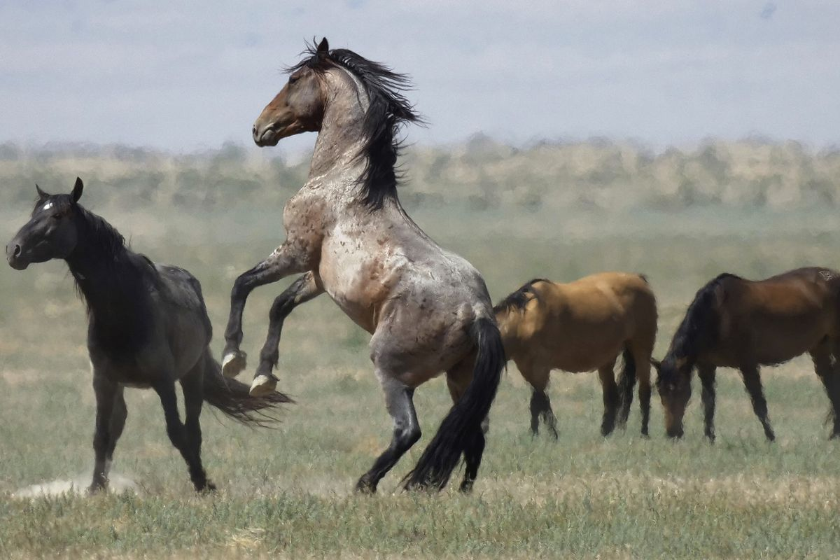 FILE - In this July 18, 2018, file photo, a wild horse jumps among others near Salt Lake City. The U.S. government is seeking new pastures for thousands of wild horses that have overpopulated Western ranges. Landowners interested in hosting large numbers