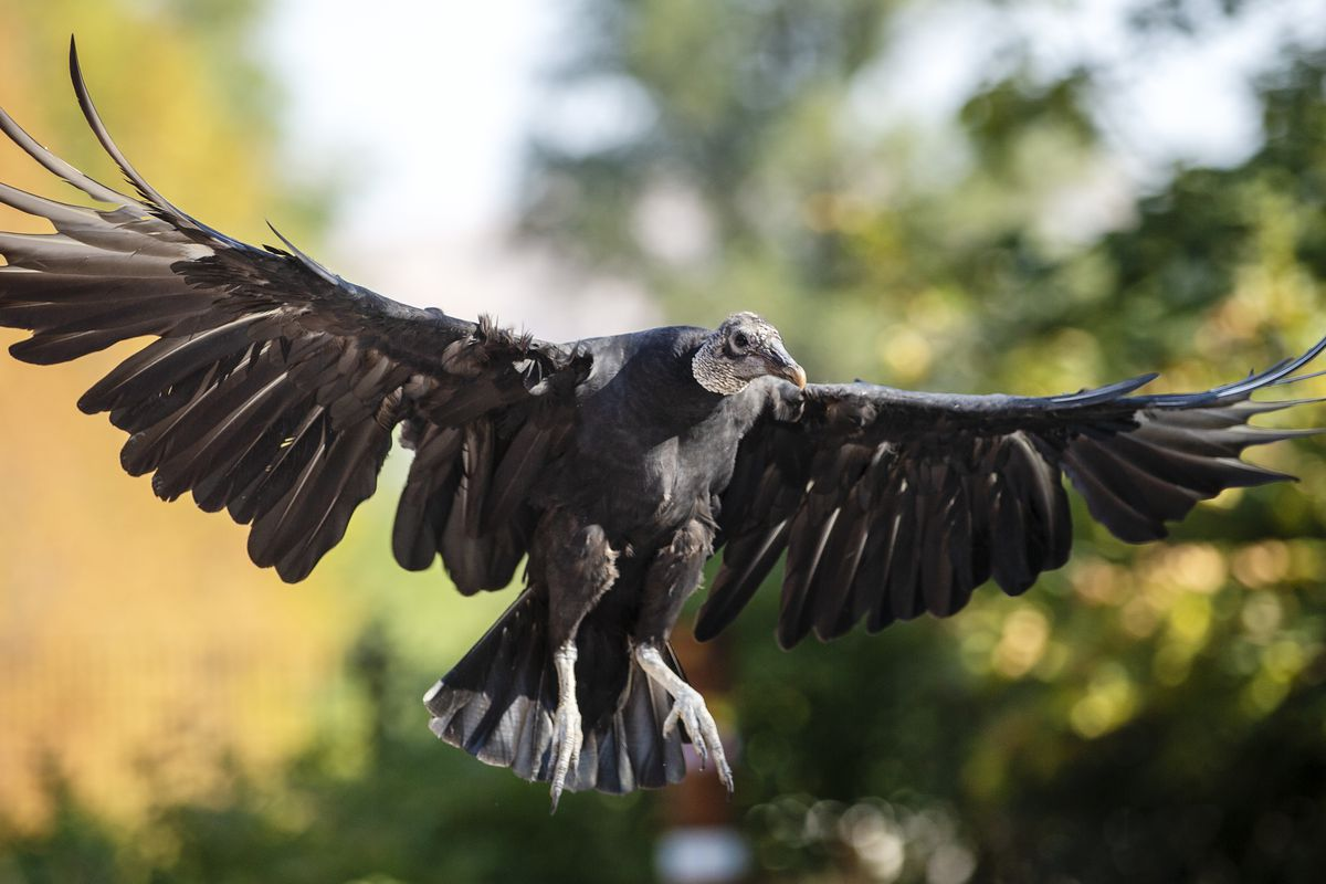 FILE - Chewy, a black vulture flies from perch to perch at Tracy Aviary in Salt Lake City on Saturday, Sept. 1, 2018. Guests of all ages are invited to learn about Tracy Aviary's conservation initiatives during its Halloween Hoot on Oct. 27, 28 and 31.