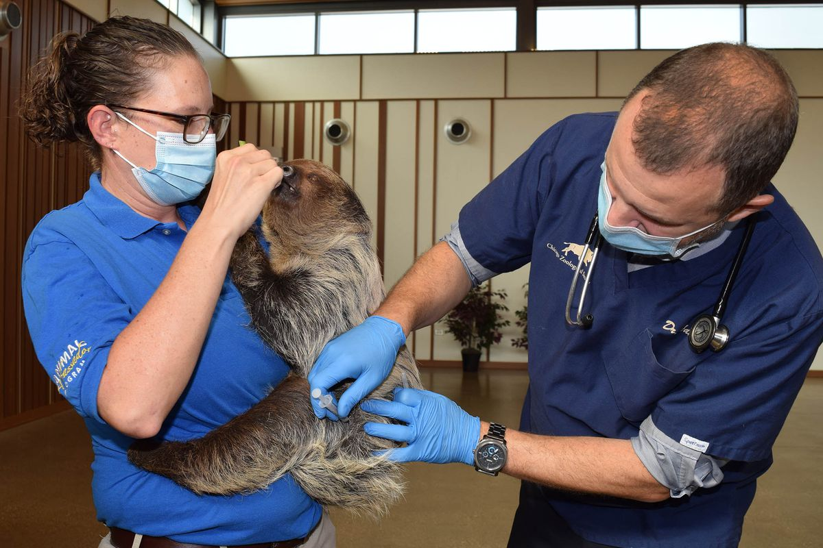 Francine Lescher, a senior animal care specialist, holds T-Mo, a Linnaeus's two-toed sloth at Brookfield Zoo, while he receives a COVID-19 vaccine administered by Dr. MikeAdkesson, vice present of clinical medicine for the Chicago Zoological Society.