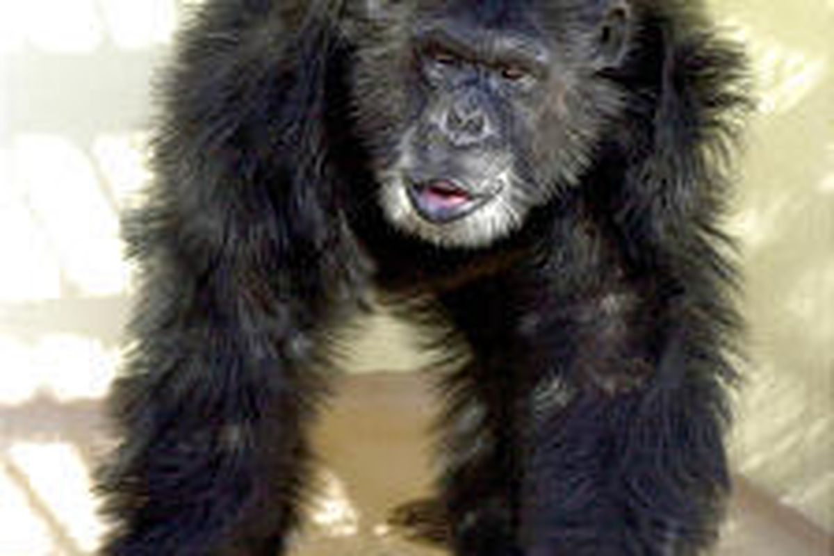 DNA from Clint the chimpanzee, at Yerkes National Primate Research Center in Atlanta, Ga., was used in genome project.