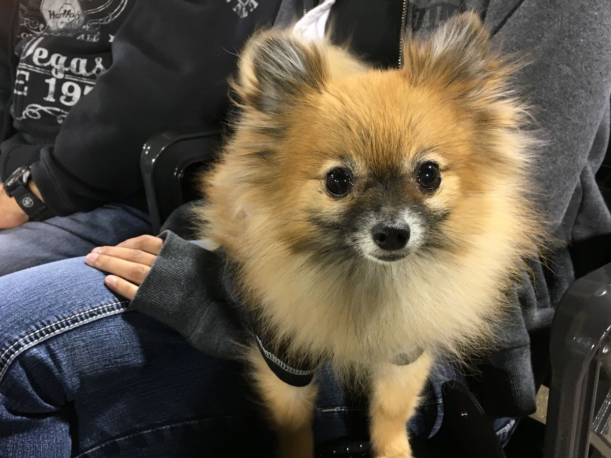 Evee is an energetic Pomerania, who isn't camera shy.   Madeline Kenney/Sun-Times
