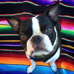 """<b>Wally the Boston</b> (<a href=""""http://www.instagram.com/wallytheboston"""">@wallytheboston</a>)<br> Wally the Boston Terrier loves the same things that all San Franciscans love: peanut butter, walks to the park, snoring, and smiling. Bonus: He appreciate"""