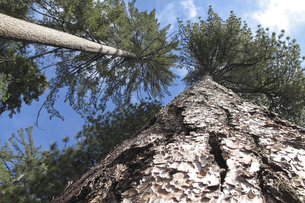 FILE- In this April 14, 2017 file photo, trees are seen near where U.S. Interior Secretary Ryan Zinke visited Kings Canyon National Park, Calif. that day. A year of upheaval at the U.S. Interior Department has seen dozens of senior staff members reassigne