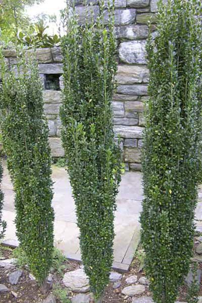 Japanese Holly Shrub For Evergreen Privacy