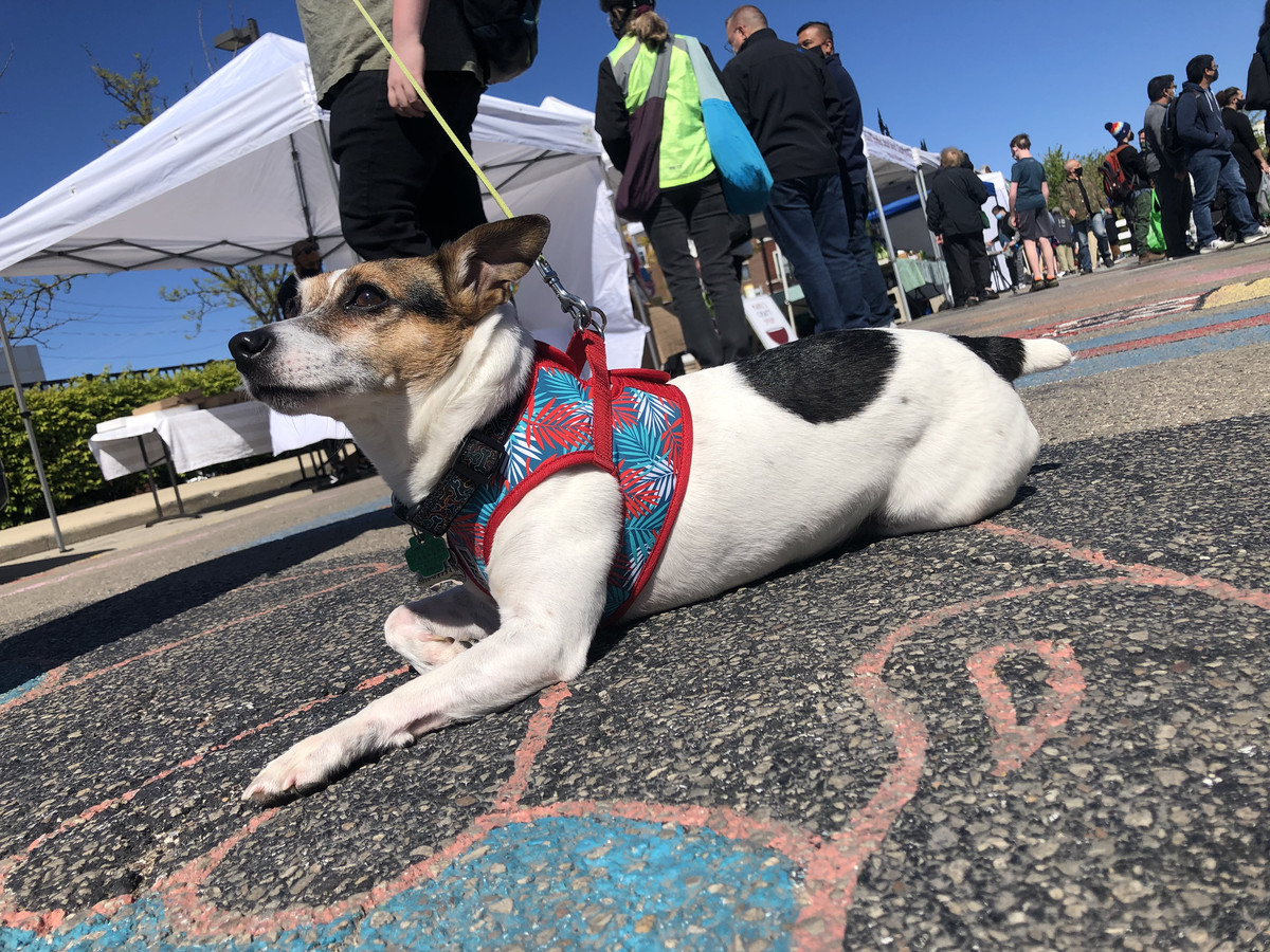 Max, an 11-year-old Jack Russell Terrier, lounges at the Andersonville Farmers Market, which is once again allowing dogs to enter the space. His owner, Andersonville resident Lee Keech, said they plan to return each week to search for produce.