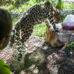 A boy watches as an Amur leopard searches for treats during Ice Block Day at Hogle Zoo on Saturday, July 11, 2015, in Salt Lake City.