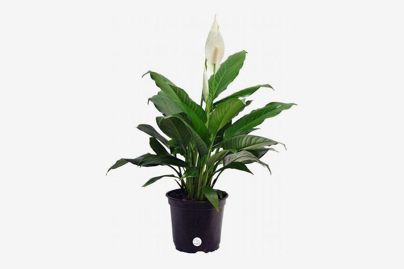 Black planter with large leaves and a white flower.
