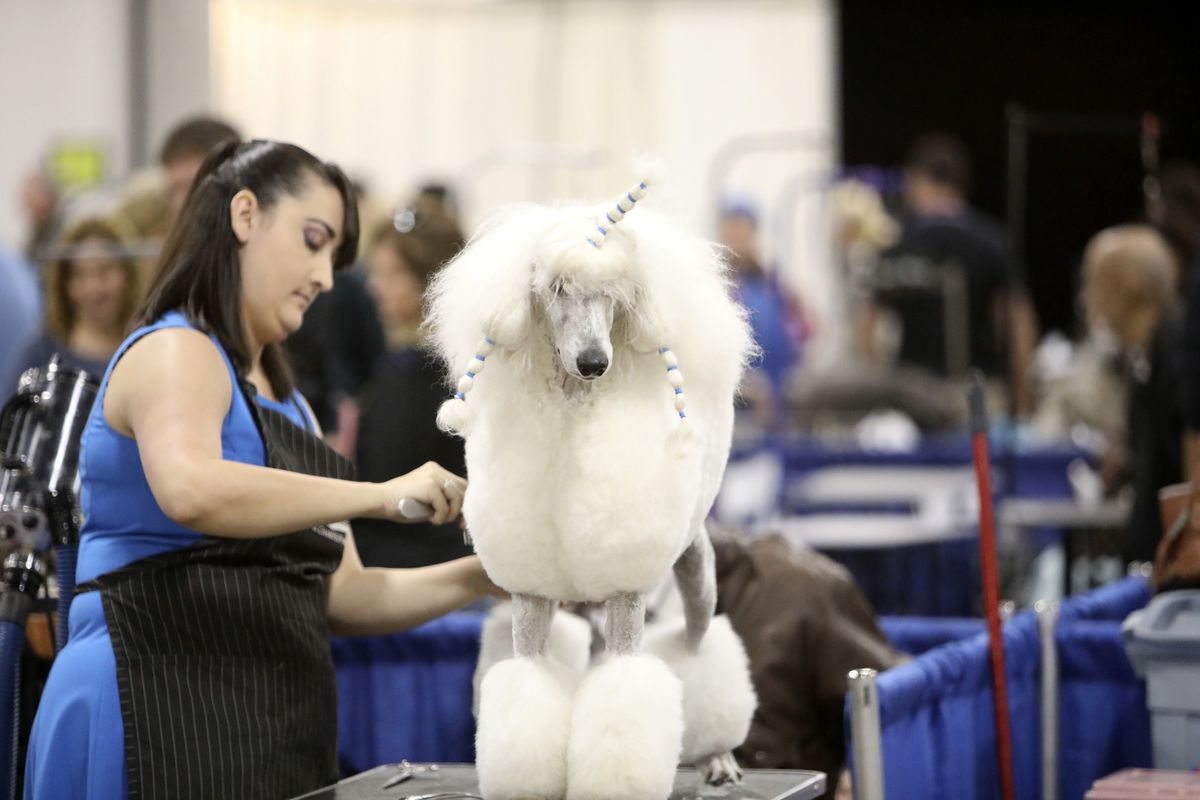 THE NATIONAL DOG SHOW PRESENTED BY PURINA -- 2016 -- Pictured: A Standard Poodle competes at The National Dog Show Presented by Purina (Photo by: Bill McCay/NBC/Photo Bank)