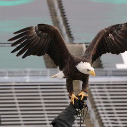 The eagle before the game.
