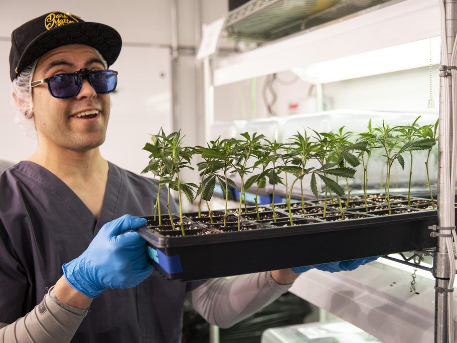 Pat Hogan, propagation and research and development management at Illinois Grown Medicine, shows a tray of clones of medical marijuana plants in the vegetative room at the cultivation center in Elk Grove Village, Monday morning, May 6, 2019. | Ashlee Rezi
