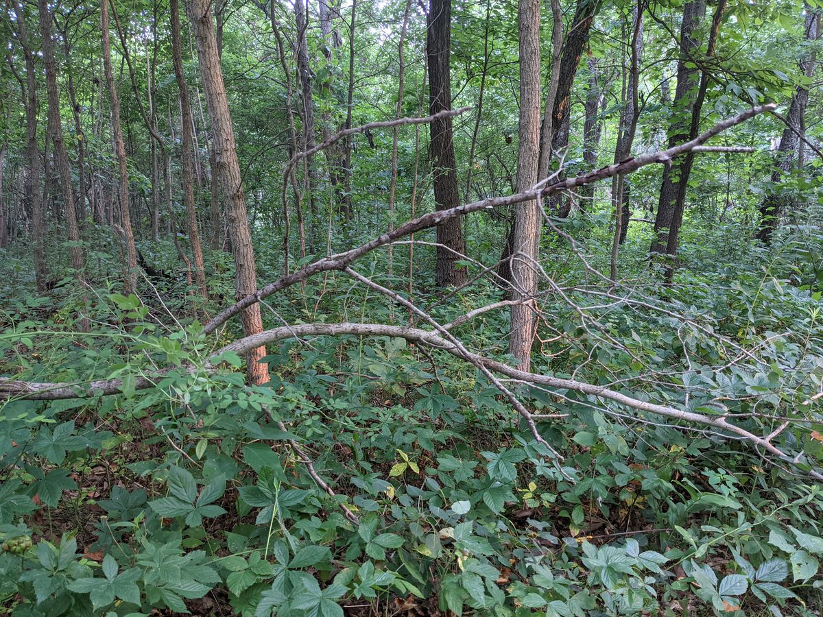 August is not an ideal time to hunt squirrels, too much undergrowth and too dense canopies, as shown here Sunday at Iroquois County State Wildlife Area. Credit: Dale Bowman