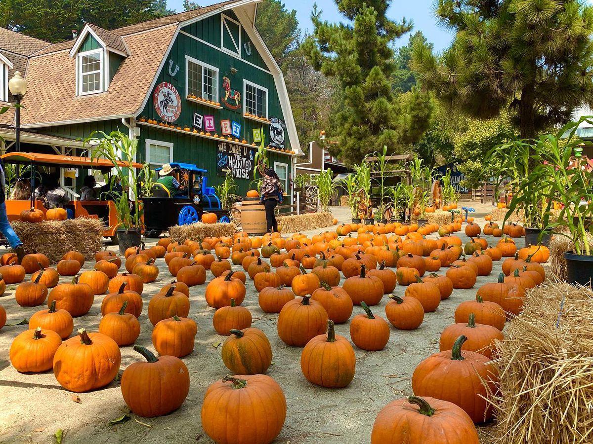 Pumpkin patch at Lemos Farm