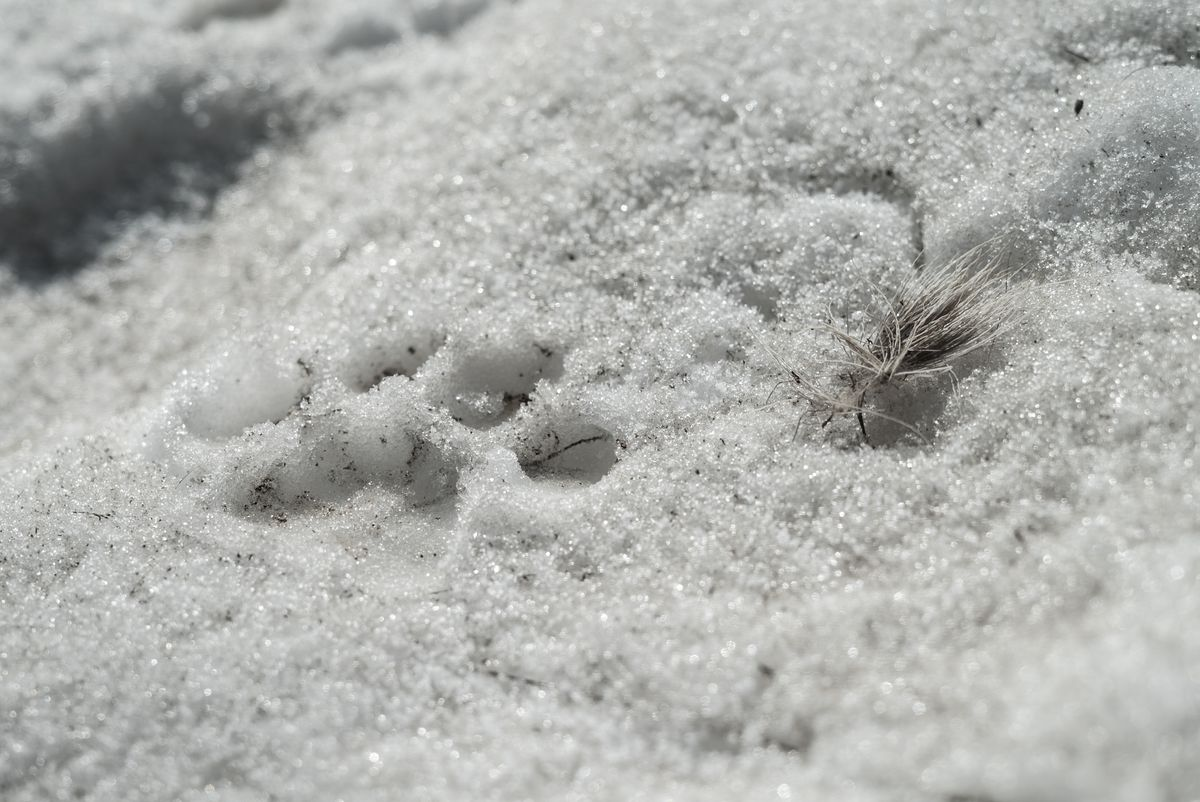 Mountain lion print in the snow