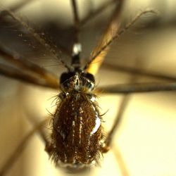 This photo provided March 30, 2012, by the Hawaii State Dept. of Health shows a female mosquito, Aedes aegypti, like the ones found at the Honolulu airport in January, 2012. After losing federal earmarks, Hawaii lawmakers are looking for state money to fund inspectors preventing pests from entering the islands and threatening local farms and the environment. The loss of Congressional earmarks mean Maui's airport will lost most of its inspectors if no state money is found to pay their salaries.