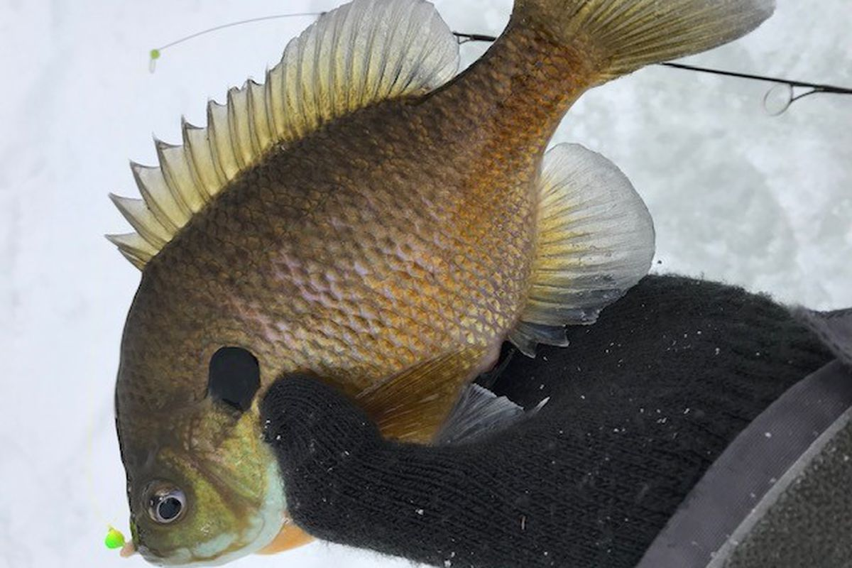 Charles Zheng with a nice bluegill caught ice fishing in the brutal cold in Lake County. Provided photo