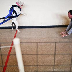 In this photo taken Nov. 12, 2011, Alonzo Ortiz works to get his dog,  Sephora, over the line during her first pull at the dog pull event hosted by the Prairieland Pullers Club at the old Abingdon Middle School in Abingdon, Ill. The club is an all-breed, including mix-breed, club that encourages, promotes, supports and teaches the sport of weight pulling.