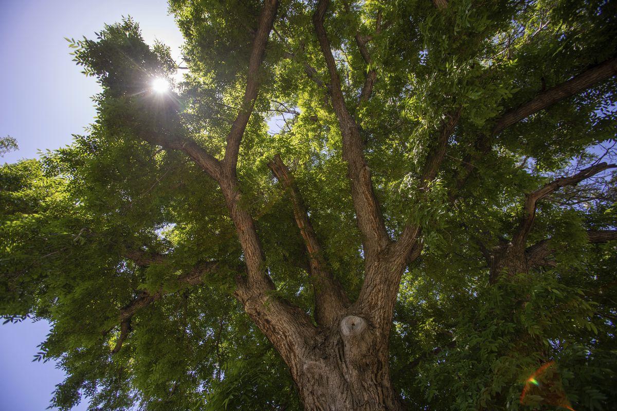 It's official: Giant Ogden walnut tree is largest in Utah