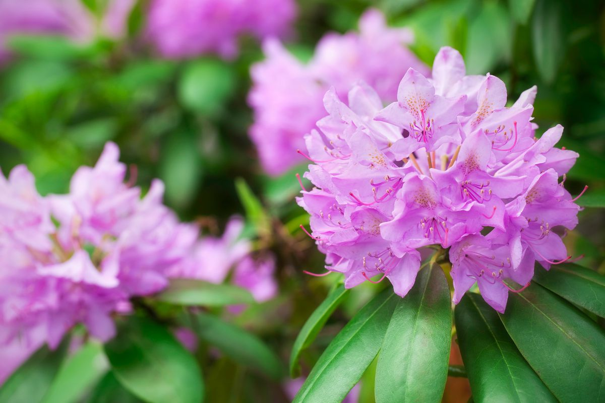 Rhododendron close up.