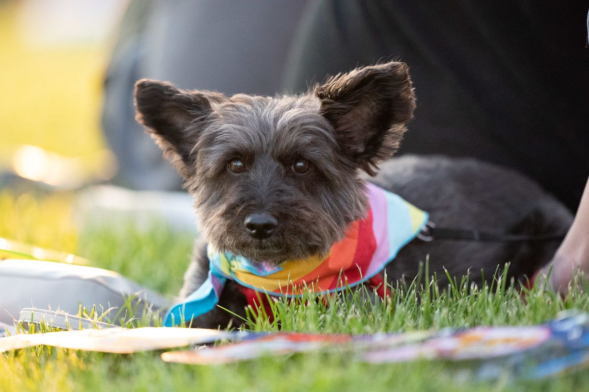 A small black dog with shaggy hair on its face and large triangular ears is lying in some grass, looking toward the camera. It is wearing a rainbow bandana.
