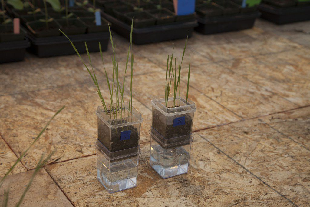 Wheat plants treated with endophytes (left) show more biomass growth than untreated plants (right).