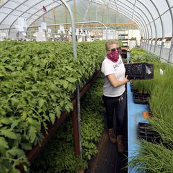 Amber Nichols, Wasatch Community Gardens volunteer coordinator, pulls plants for a customer's order at Wasatch Community Gardens' Green Phoenix Farm in Salt Lake City on Tuesday, May 5, 2020.