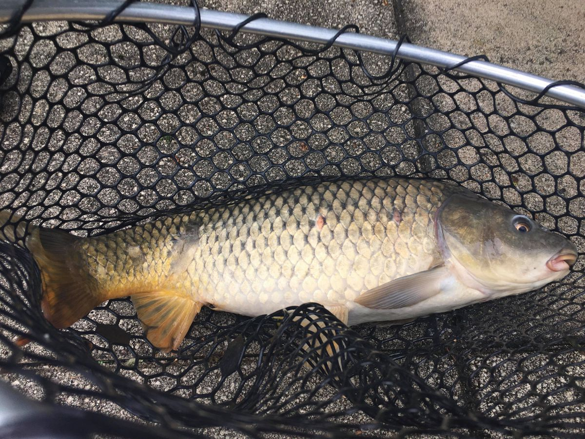 Chicago River carp. Provided by Jeffrey Williams
