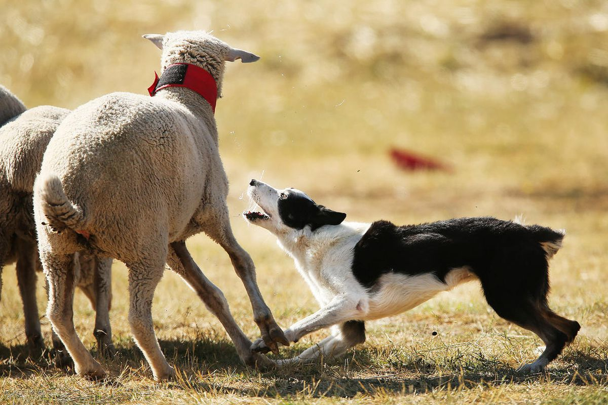 Cley works the sheep during the Soldier Hollow Sheepdog Classic at Soldier Hollow on Monday, Sept. 5, 2016.