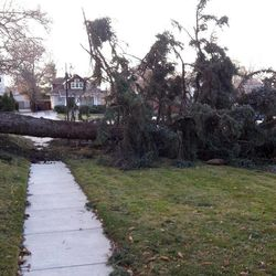 Strong winds downed a large tree at T Street and South Temple Thursday, Dec. 1, 2011 in Salt Lake City.