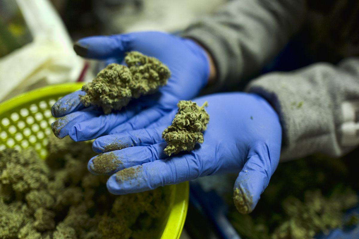 A cannabis worker displays fresh cannabis plants that have been trimmed for market at Loving Kindness Farms in Gardena, Calif., Thursday, April 4, 2019. The California Senate on Thursday moved to close a licensing gap for state marijuana growers, the latest problem to bedevil the shaky legal marketplace.