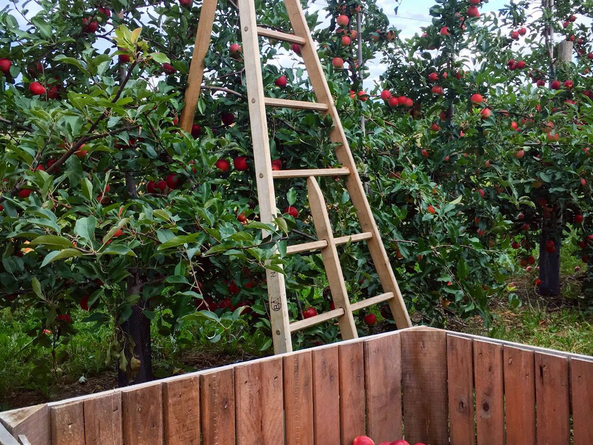In the foreground is a cart. Behind the cart is a ladder standing near an apple tree. The apple tree has many red apples on it.