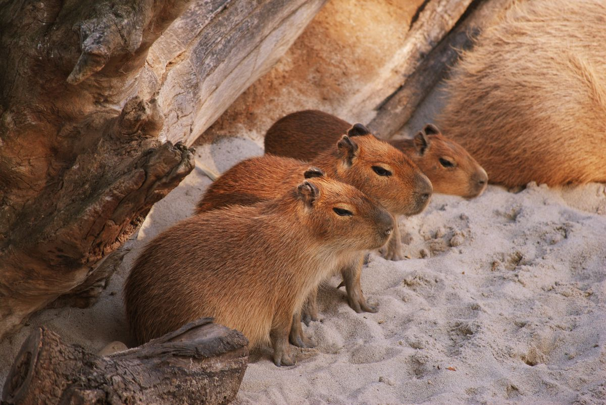 What Do Jaguars Eat >> Capybaras are cute, even though they eat their own poop - The Verge