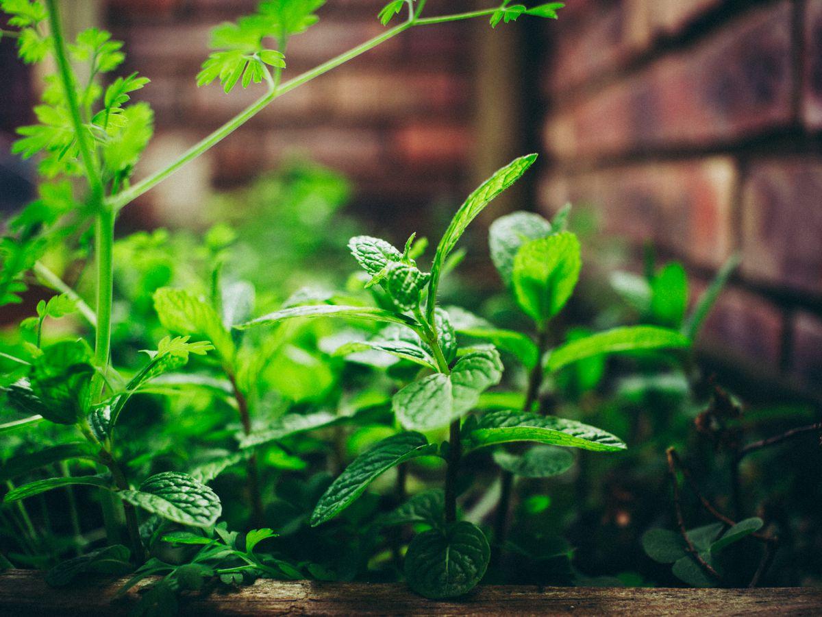 Herbs grow in a community garden.