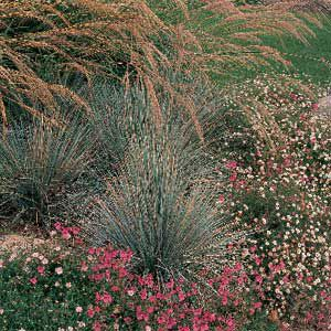 <p>Taiwanese miscanthus, with graceful stems and feathery flower plumes, makes a nice contrast to clumps of blue oat grass with blue-green leaves.</p>