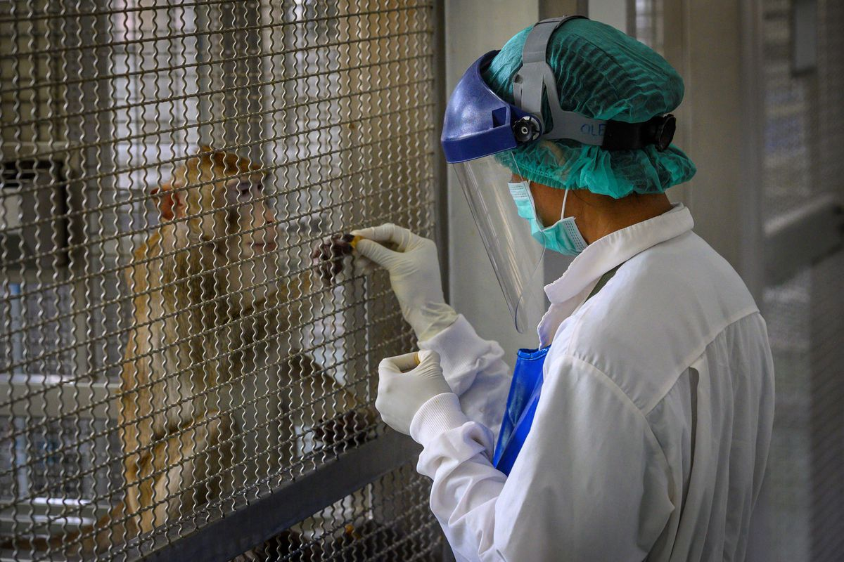 A laboratory monkey interacts with an employee in the breeding centre for cynomolgus macaques (longtail macaques) at the National Primate Research Center of Thailand at Chulalongkorn University in Saraburi.