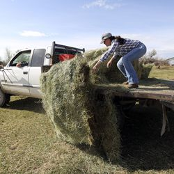 Ray Hancock drives a truck as his daughter Tawny Myers pushes hay off the back to feed their cattle at Myers Ranch and Hancock Farms in Hooper on Monday, April 27, 2020.