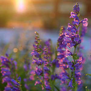 <p>Sagebush penstemon, a wildflower of the Sierran foothills and Alpine region</p>