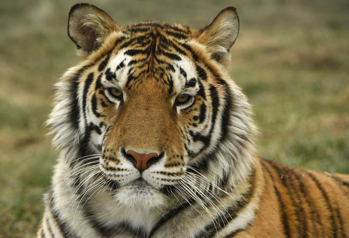 Tigers rescued from Joe Exotic aka The Tiger King Joe