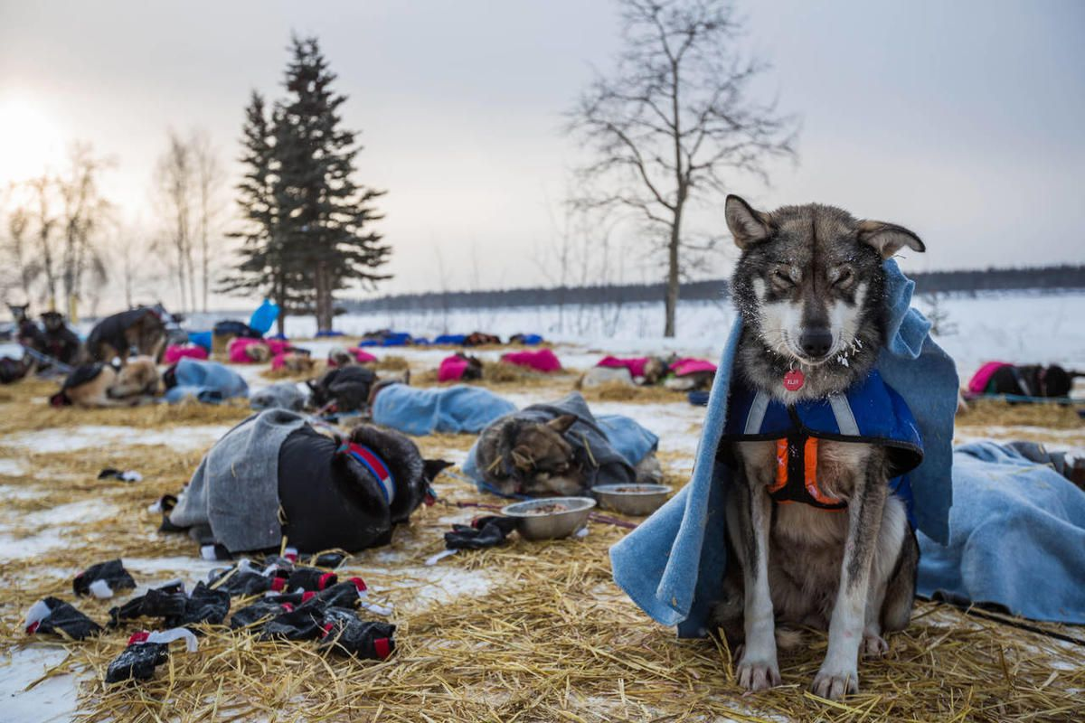 A dog in musher Steve Watkins' team rests sitting up at the Tanana, Alaska, checkpoint during the Iditarod Trail Sled Dog Race, Wednesday, March 11, 2015.