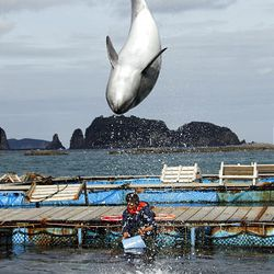 """A dolphin demonstrates a flip at a dolphin pool in Taiji, southwestern Japan, where visitors can play with the animals Monday, March 8, 2010. The Japanese fishing village featured in """"The Cove,"""" which won an Oscar for best documentary, defended Monday its practice of hunting dolphins as a part of its tradition. Residents of this remote village nestled on the rocky coast expressed disgust at the covertly filmed movie, which they said distorted the truth, though few acknowledged seeing it in its entirety. (AP Photo/Koji Sasahara)"""