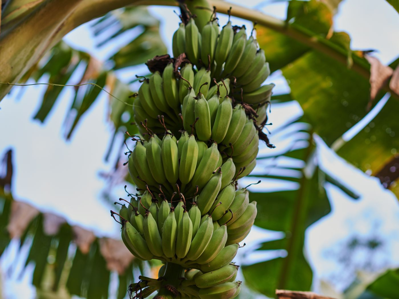 A Guide To Cold Hardy Banana Trees This Old House