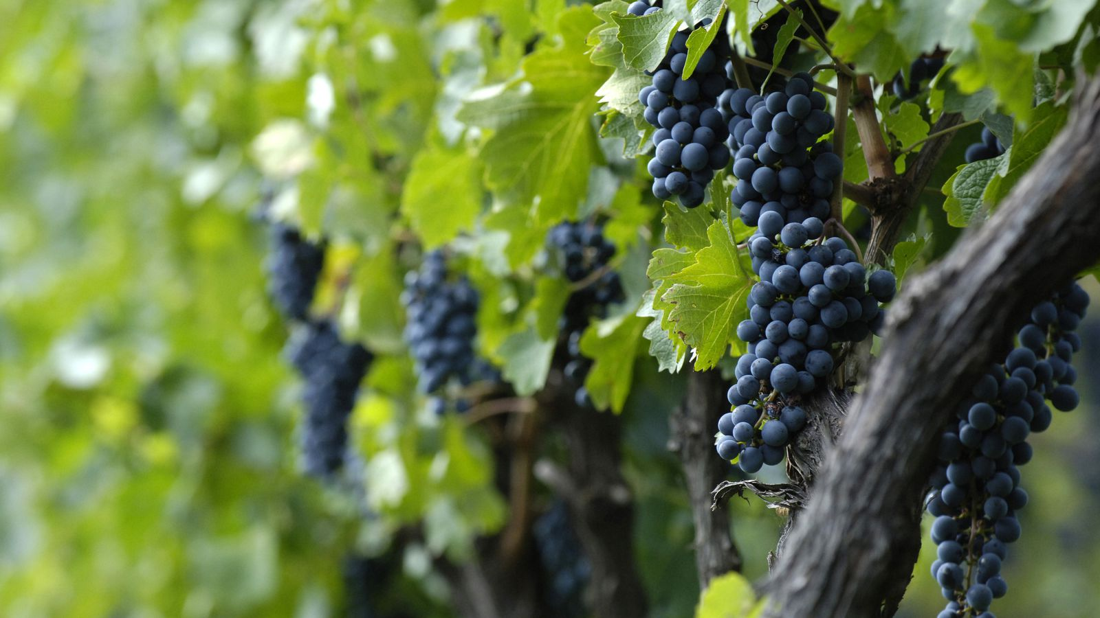 Climate change is coming for your favorite wine eater - The splendid transformation of a vineyard in burgundy ...