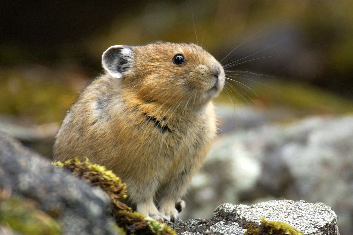 This pika would prefer not to go extinct, thanks.