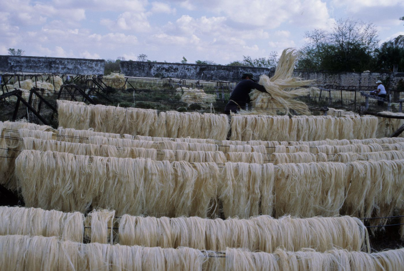 Rows of hemp fibers drying in the sun on a hacienda in Chac, Yucatan, Mexico.