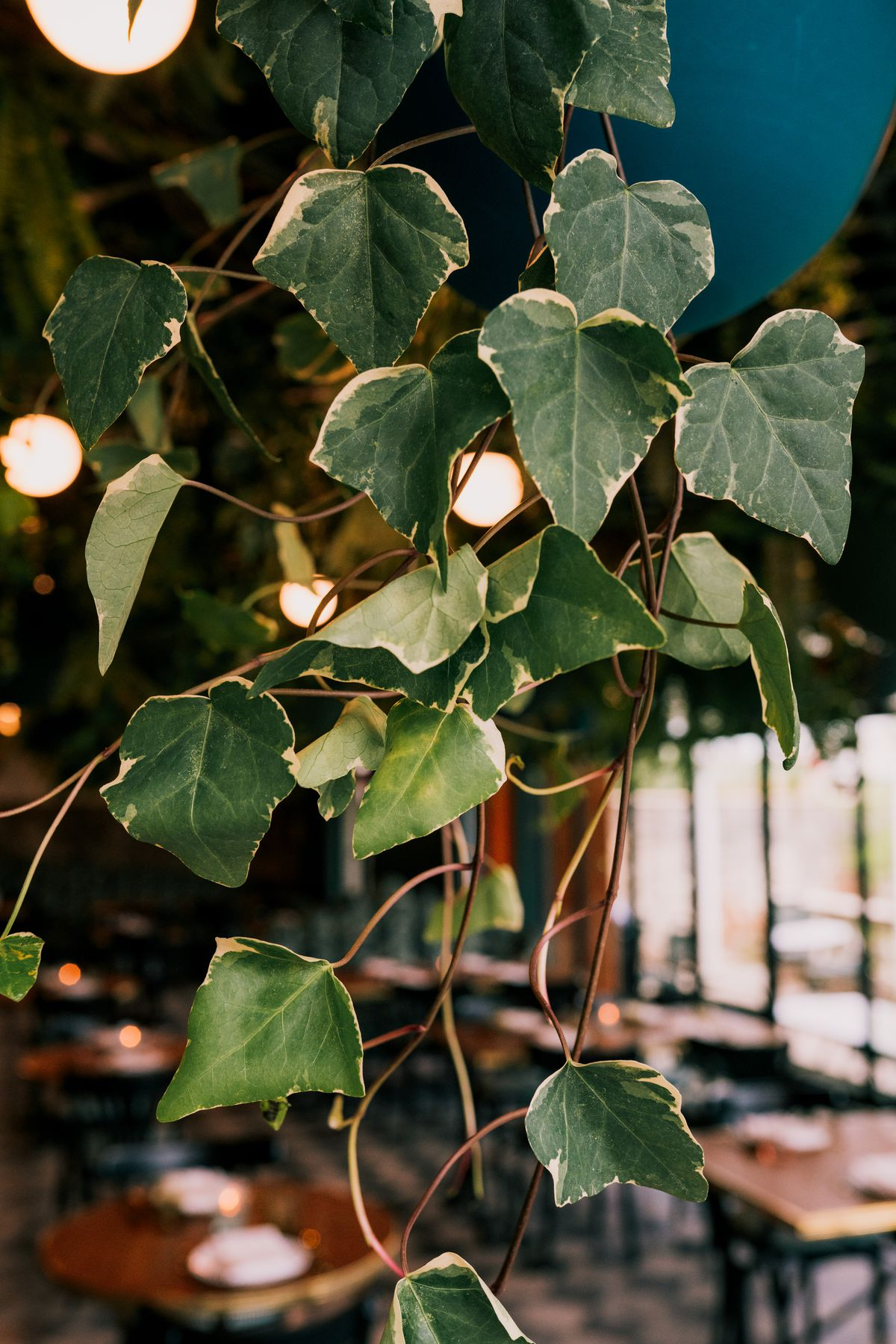 Strands of variegated ivy hanging from a basket.