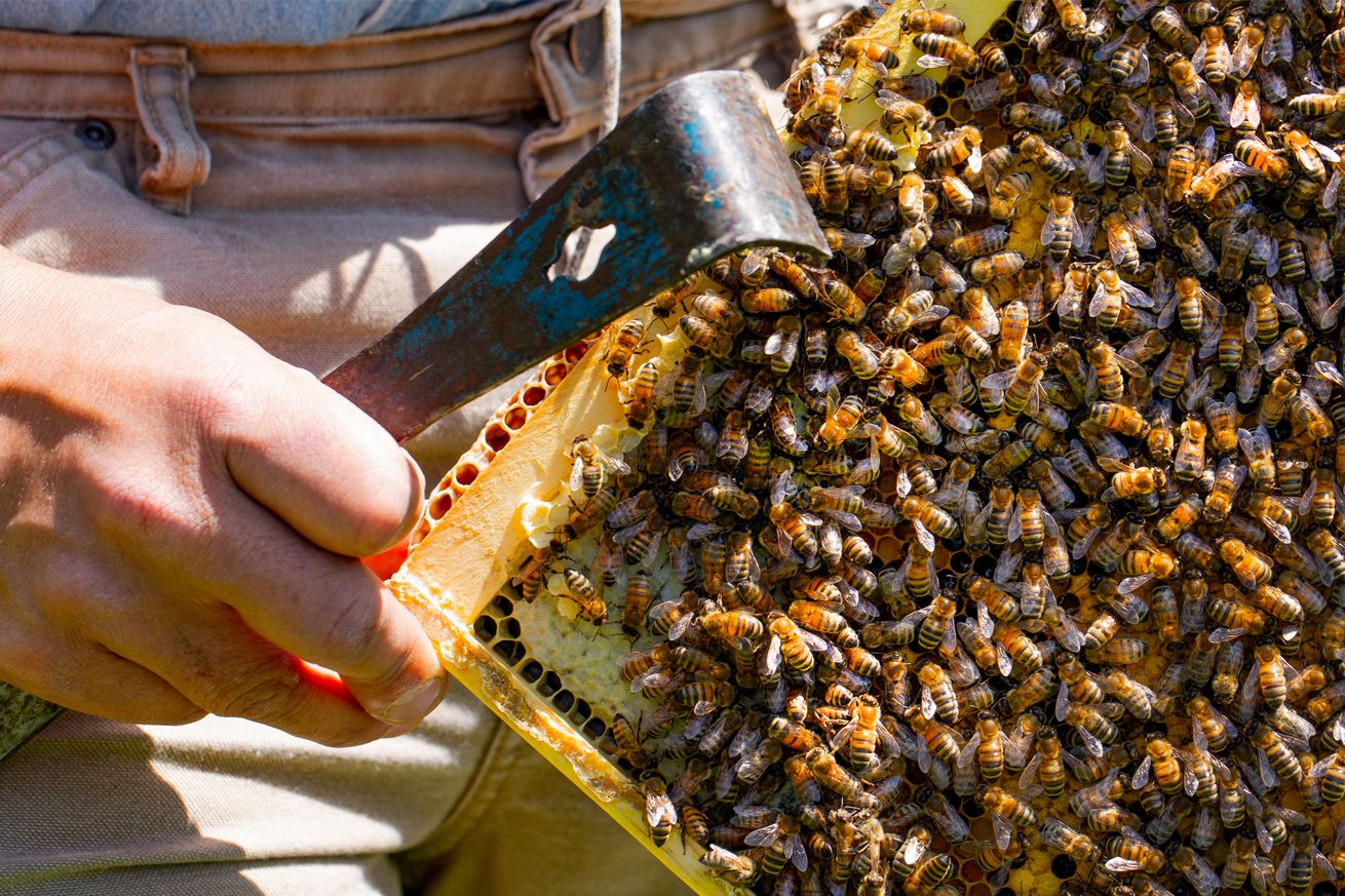 explaining the bee pocalypse once and for all