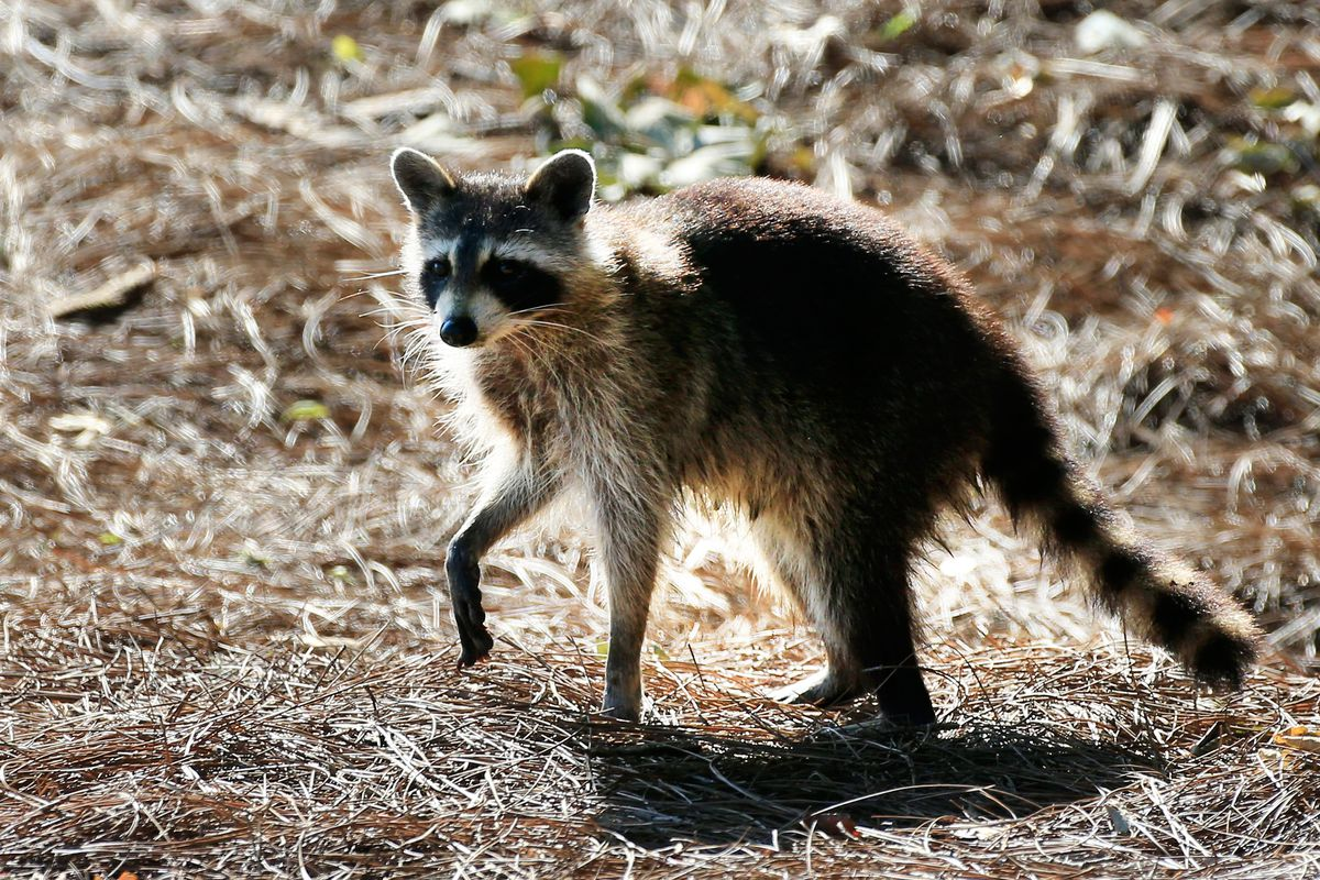 raccoon hands are nature u0027s most wonderful and terrifying