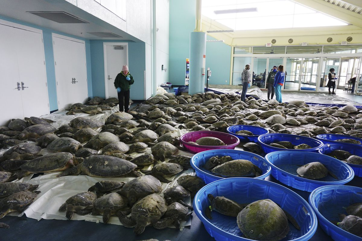 Thousands of Atlantic green sea turtles and Kemp's ridley sea turtles suffering from cold stun are laid out to recover Tuesday, Feb. 16, 2021 at the South Padre Island Convention Center on South Padre Island, Texas.
