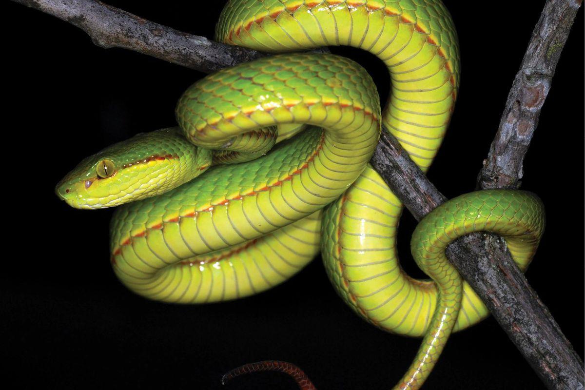 Harry Potter' snake: New snake named after Salazar Slytherin ...